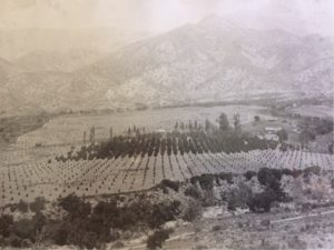 "The older orange trees in the center of this photo were planted by F. S. S. Buckman in 1875. This was the first orange orchard planted in the Ojai Valley. This photo was taken in 1912. The ranch became known as the ""Topa Topa Ranch""."