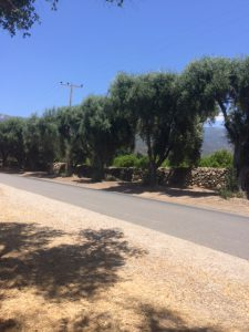 Old olive trees along the east side of McNell Road in the eastern end of the Ojai Valley. These trees are north of Grand Avenue.